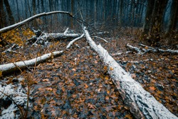 Late autumn forest. Fallen trees, covered with remains of first snow. Dark moody nature background.