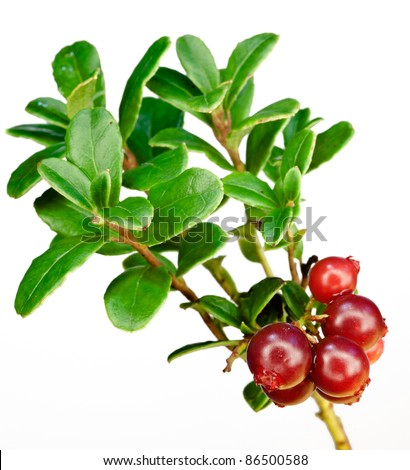 Late cowberry. Branch of red cowberries isolated on white background