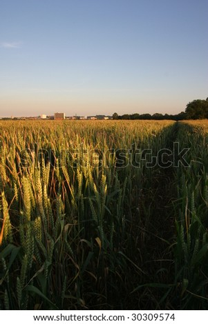 Late evening on Mid-summers day. The low sun illuminates the ripening wheat A town (Bracknell) can be seen in the distance