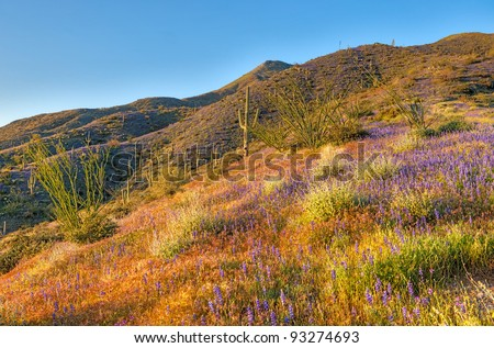 Late light illuminates Mexican gold poppies and Coulter's lupine. HDR composition.