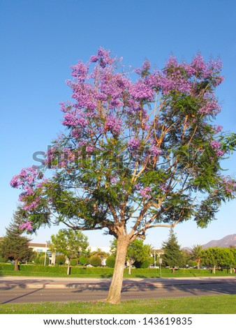 Late Spring magnificently profuse Jacaranda tree flowering, Camarillo, CA