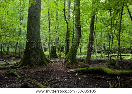 Late summer forest landscape of deciduous stand strictly nature protection area of Bialowieza National Park