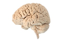 Lateral of Human brain