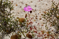Lateral view of Drosera drummondii, a climbing red insect-eating sundew with sticky leaves and pink flower, in south-west Western Australian bushland