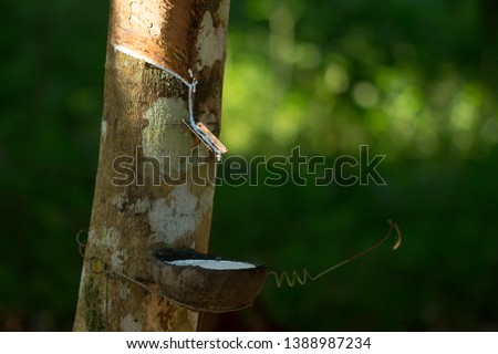 Latex extracted from rubber tree (Hevea Brasiliensis) as a source of natural rubber, Natural rubber from tree in cup, Thailand. #1388987234