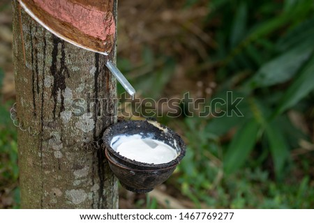 latex extracted from rubber trees is an important raw material in many types of manufacturing industries. Rubber latex is a natural raw material that has not been processed through various processes. #1467769277