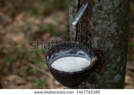 latex extracted from rubber trees is an important raw material in many types of manufacturing industries. Rubber latex is a natural raw material that has not been processed through various processes.
