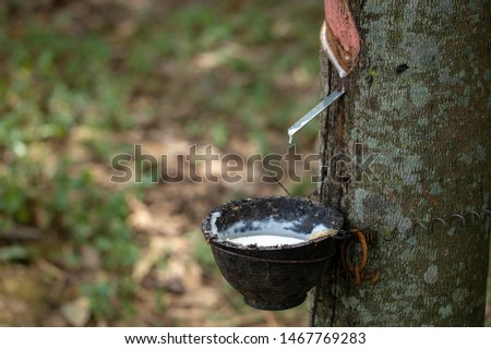 latex extracted from rubber trees is an important raw material in many types of manufacturing industries. Rubber latex is a natural raw material that has not been processed through various processes. #1467769283