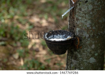 latex extracted from rubber trees is an important raw material in many types of manufacturing industries. Rubber latex is a natural raw material that has not been processed through various processes. #1467769286