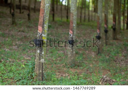 latex extracted from rubber trees is an important raw material in many types of manufacturing industries. Rubber latex is a natural raw material that has not been processed through various processes. #1467769289