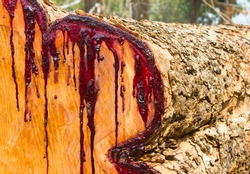 Latex of the tree is the red blood in the transverse cross section of a tree that was cut down left in the wild.