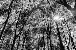 Latex rubber plantation or para rubber tree or tree rubber with leaves branch and sunbeam in southern Thailand, Black and white and monochrome style