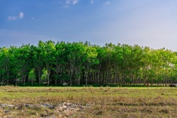 Latex rubber plantation or para rubber tree or tree rubber with leaves branch in southern Thailand
