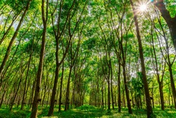Latex rubber plantation or para rubber tree or tree rubber with sun ray in southern Thailand