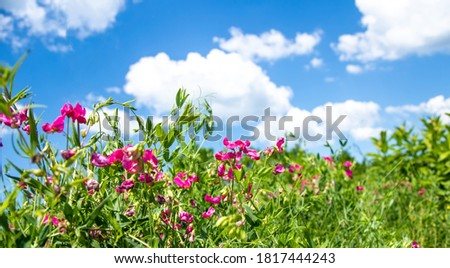 Lathyrus tuberosus, tuberous pea, tuberous vetchling, earthnut pea, aardaker, tine-tare climbing groundcover with pink bee-pollinated flowers. Used in agriculture, medicine, beekeeping Foto stock ©