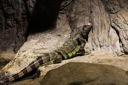 Latin name: Iguana Iguana. Size 150 cm totalling
