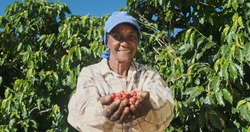 Latin woman farmer showing picked red coffee beans in his hands. Woman coffee farmer is harvesting coffee in the farm, arabica coffee.
