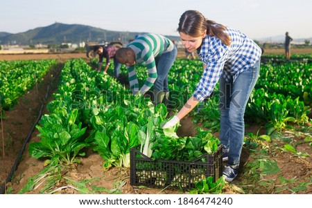 Latina and caucasian people seasonal workers harvesting green leafy vegetable on field Foto stock ©