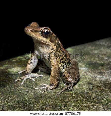 Latouche's Frog, Kuatun Frog (Rana latouchii)