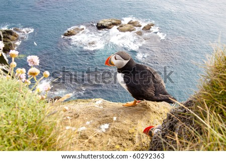 Latrabjarg - Iceland. Puffin on the rock.