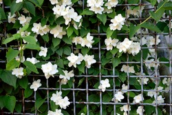 lattice with white jasmine, close-up, as a texture for the background,