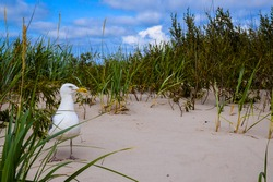 Latvian seaside with the sand dunes and a seagull