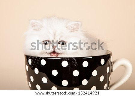 Laughing crying Silver Chinchilla Persian kitten sitting in large cup on beige background