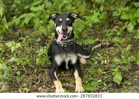 Laughing dog with funny face and tongue outdoors.