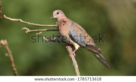 Laughing Dove, a common and widespread African species Zdjęcia stock ©