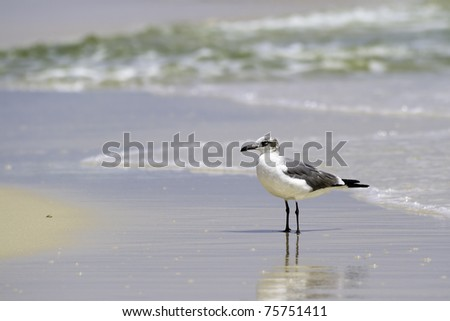 Laughing Gull (Larus atrcilla) standing in the wet beach sand with reflection and surf behind
