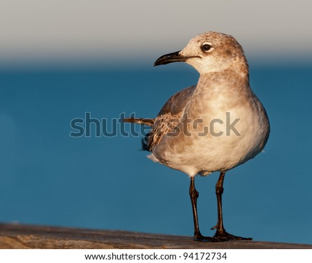 Laughing gull (Larus atricilla) in Venice, Florida