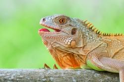 Laughing happy iguana