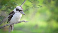 Laughing Kookaburra (Dacelo novaeguineae) hung on a branch. Portrait of kookaburra, Nature blur background, Australia