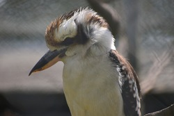 Laughing kookaburra is a bird in the kingfisher family It is large robust with a whitish head and a dark eye stripe The upper parts are brown with light blue patch on the wing coverts white underparts