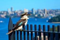 Laughing kookaburra sitting on a fence in Sydney
