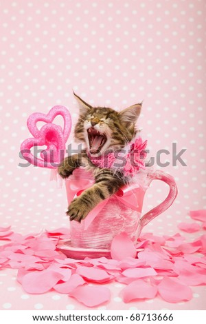 Laughing Maine Coon kitten in Valentine pink cup with rose petals