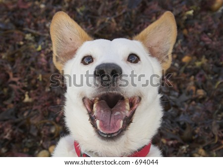 Laughing/smiling dog (or he might just be barking)