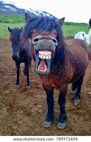 Laughing/smiling horse with dirty teeth. Very funny picture taking while working in Iceland with horses on a farm. Horse is yawing and it looks like smiling. Small horse on a pasture enjoying a time.