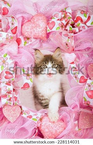 Laughing smiling talking Valentine Maine Coon kitten peeping from behind pink wreath on pink background