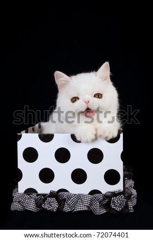 Laughing smiling White Exotic kitten sitting inside gift box on black background