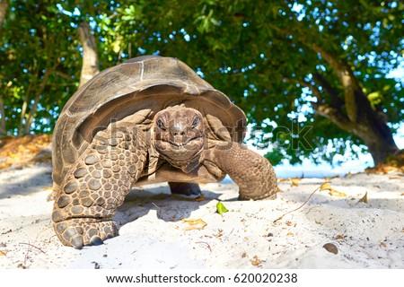 laughing turtle, Seychelles giant tortoise - wildlife