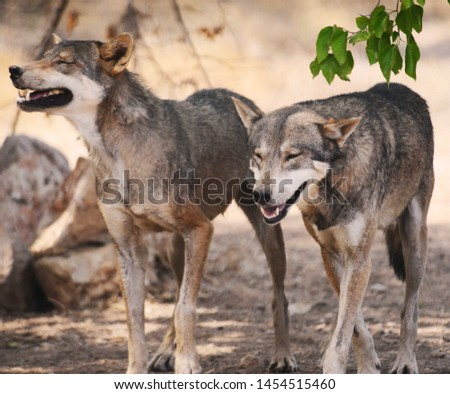 Laughing Wolves, must have been a great joke