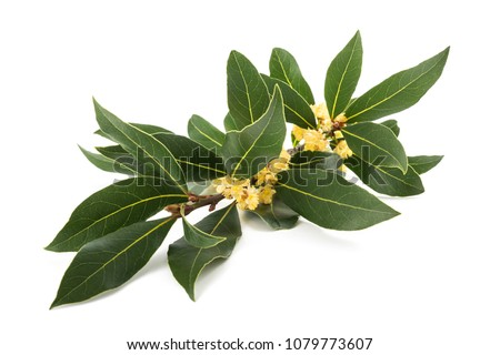 Laurel branch with flowers isolated on white #1079773607