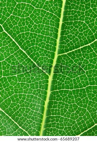 Laurel leaf isolated on white