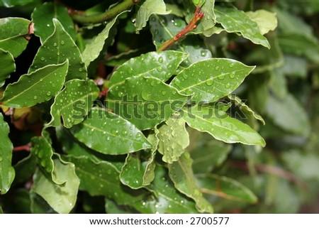 laurel leaves, bay leaf, after the rain