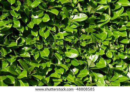 Laurel leaves, hedge of green laurel bushes