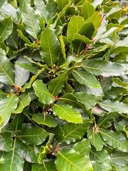 laurel tree bush - fresh foliage