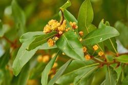 Laurus nobilis, Grecian laurel or sweet true laurel is an aromatic evergreen tree or large shrub with green, glabrous leaves, in flowering plant family Lauraceae.