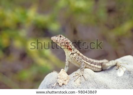 Lava lizard (Tropidurus spp.) on Santa Fe, Galapagos Islands, Ecuador