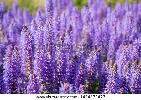 Lavanda purple flowers beautiful sunshine blooming in park Foto stock ©